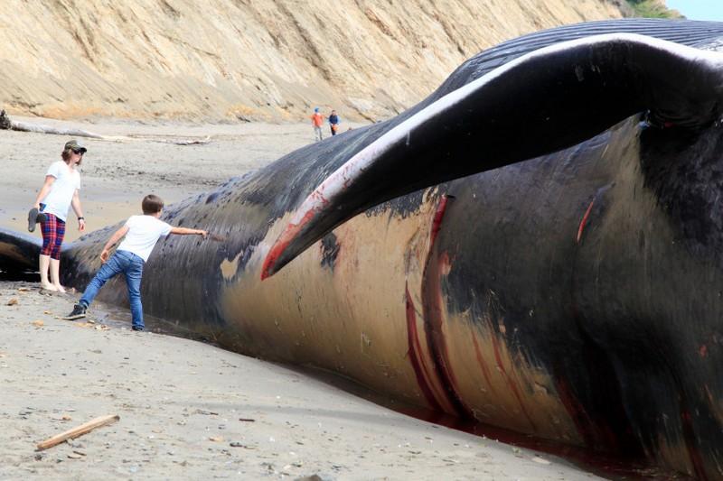 Тушу 24-метрового синего кита прибило к берегу в Калифорни