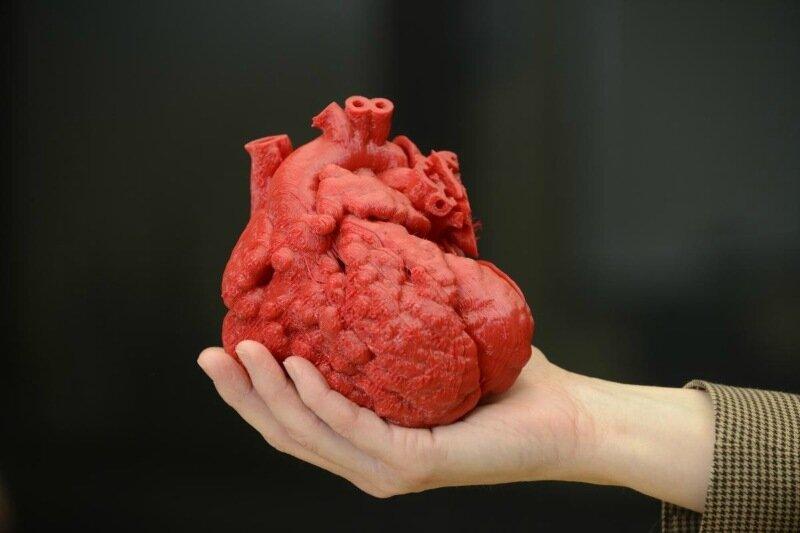 Чихание без сердцебиения — 33 факта о нашем сердце
