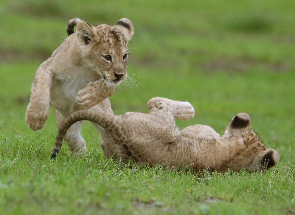 9. Нежная, но сильная мама. Не поздоровится тому, кто окажется в пасти на месте котенка. (Фото