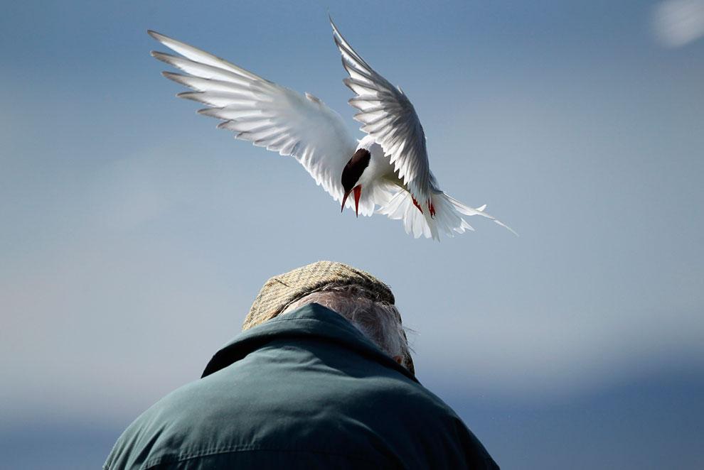 Серый тюлень. (Фото Dan Kitwood | Getty Images):