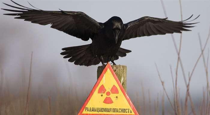 Рысь Рыси хорошо чувствуют себя в чернобыльской зоне.