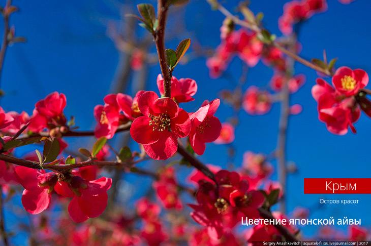 В Крыму зацвела японская айва. Потрясающе красиво (16 фото)