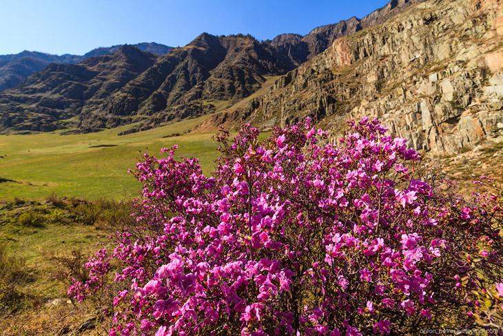 2. Маральник (Рододендрон Ледебура) не любит избытка влаги, это засухоустойчивое растение. Листья на