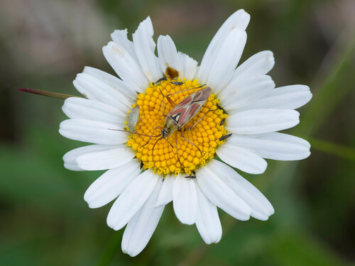 Альбом: BVV_Мой плантариум Asteraceae - Сложноцветные Автор фото: Владимир Брюхов
