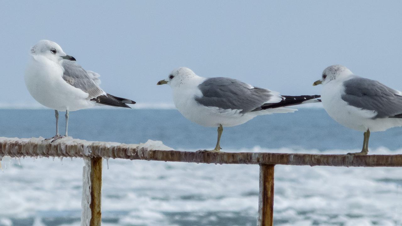 Сизая чайка - Common Gull