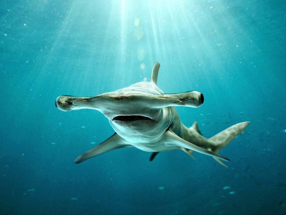 Китовая акула Где: Южный Атолл Ари (Мальдивы) Cезон: с мая по декабрь Цена: €3100—3800 c