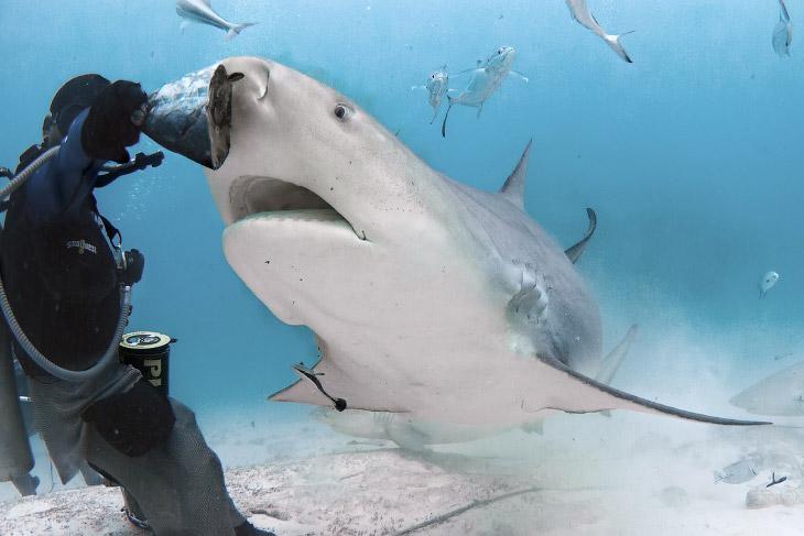 Опасная съемка акул на глубине (14 фото)