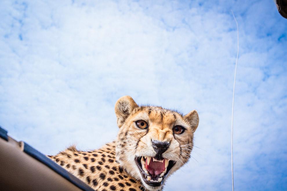 К счастью, любопытный гепард вскоре убежал, Бобби-Джо Клоу остался невредимым, и ему удалось сд