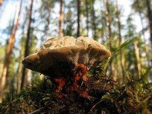Гиднеллум оранжевый (Hydnellum cf aurantiacum)