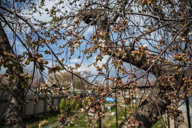 Цветет наша старая вишня