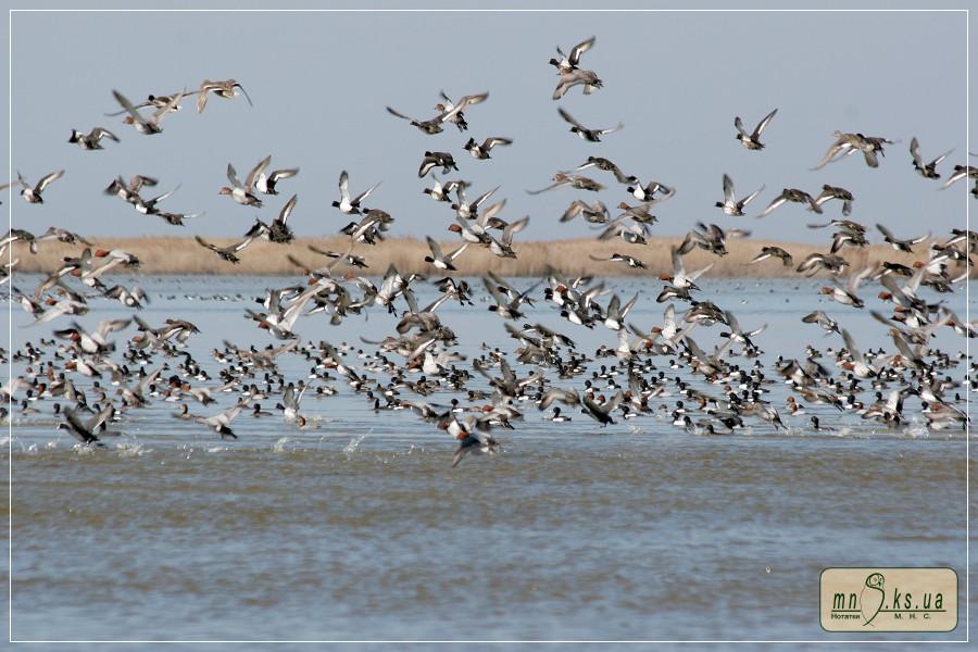 Зграї качок на Потіївській ділянці Чорноморського біосферного заповідника