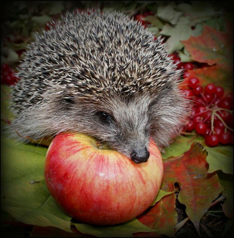 Картинка ежик с яблоком
