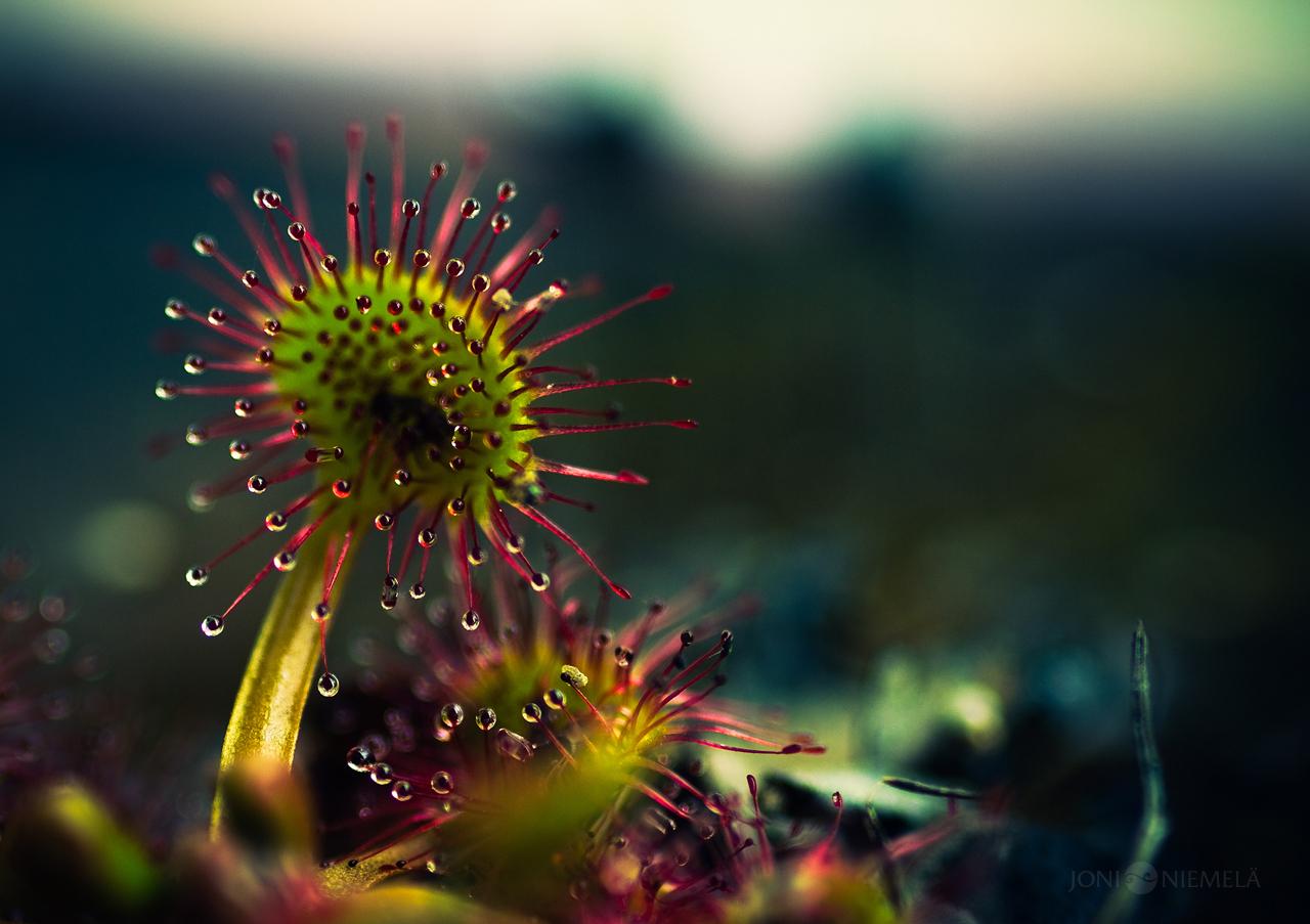 Макро цветы / фото Joni Niemelä