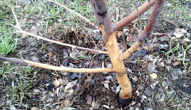 Мыши зимой обглодали яблоню