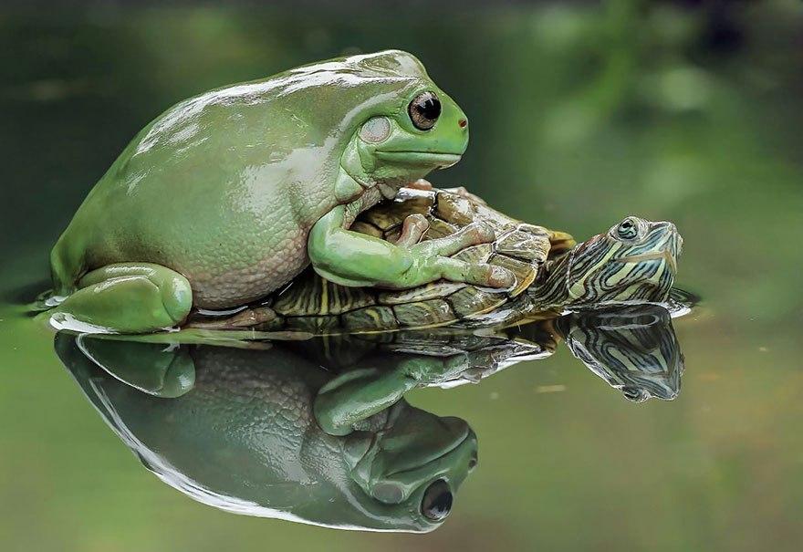 Казалось бы, вот уж лягушками-то нас точно не удивишь, но индонезийский фотограф Tanto Yensen смог снять их по-новому