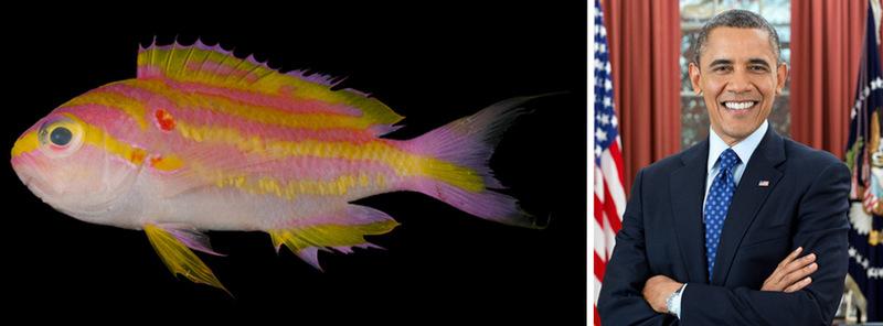 3. Рыба Tosanoides obama и Барак Обама. В честь бывшего президента США названо несколько разновиднос