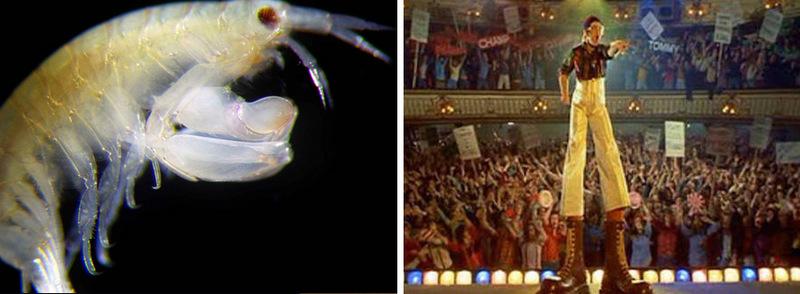 7. Креветка Leucothoe eltoni и Элтон Джон в образе Pinball Wizard. Крошечное ракообразное было обнар