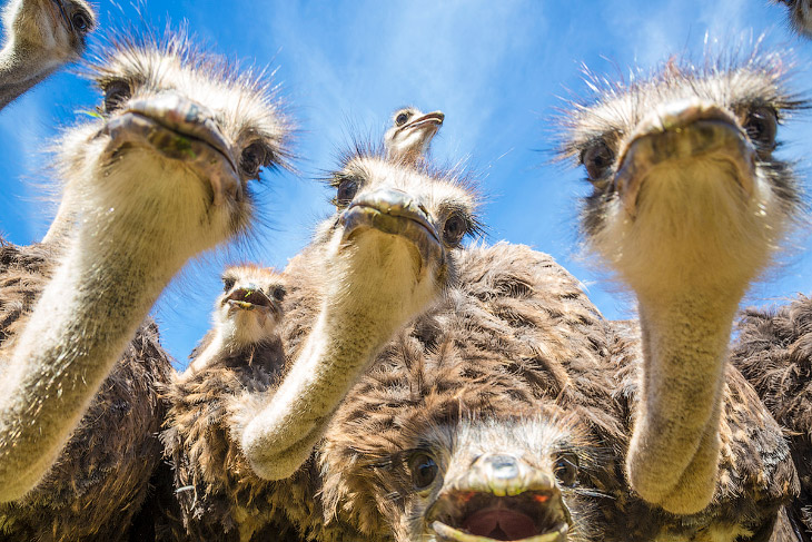 Стадо страусов (10 фото)
