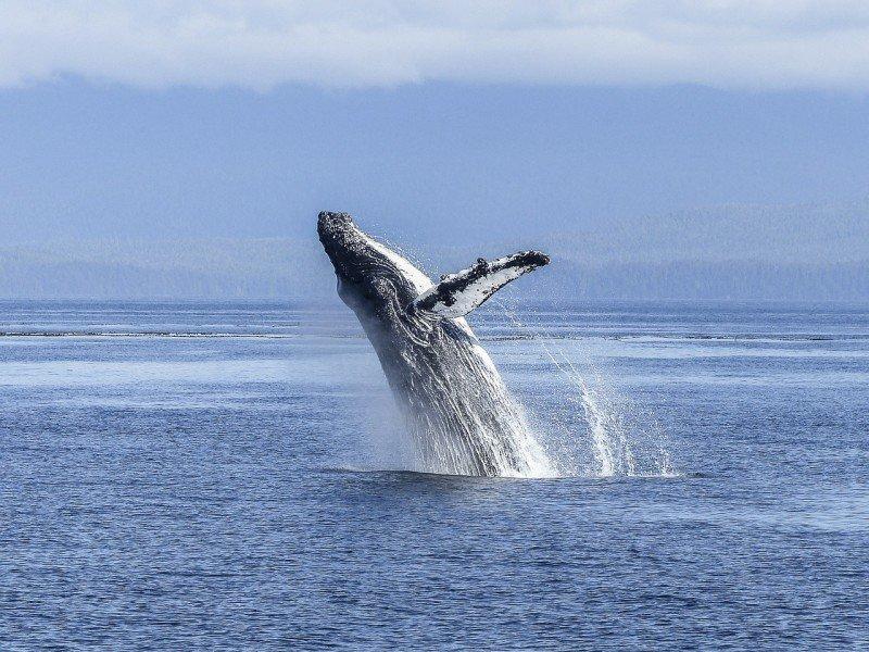 Ученые пояснили, почему киты выпрыгивают изводы