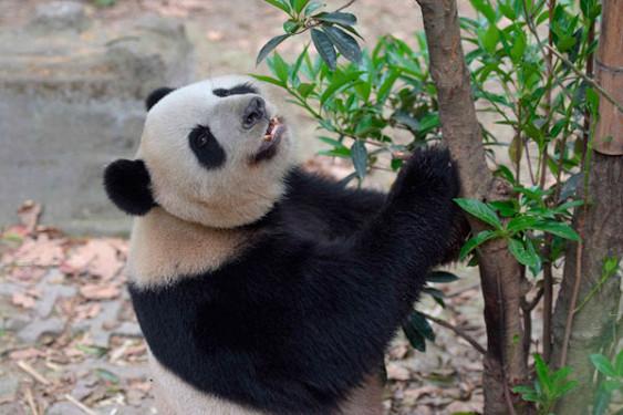 Загадка раскрыта: ученые узнали, почему панды черно-белые