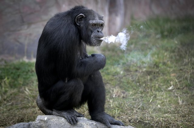 "Azalea, whose Korean name is ""Dalle"", a 19-year-old female chimpanzee, smokes a cigarette at the Cen"