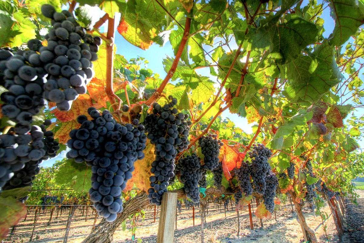 Фермеры Ставрополья получат субсидии назакладку виноградников