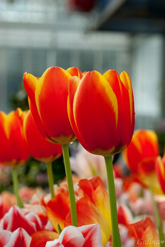 Яркие кубки весны