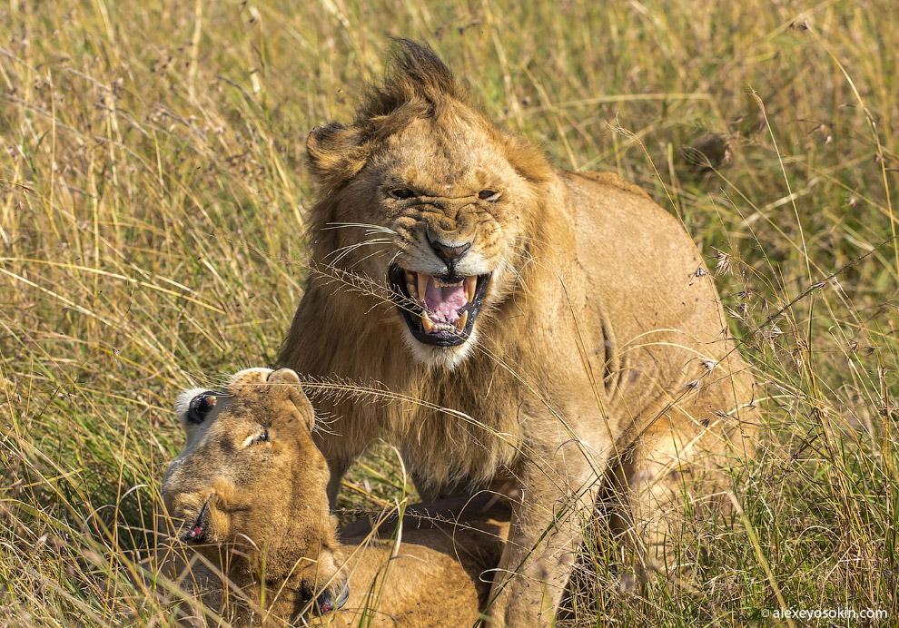 6. Взрослым лев становится в возрасте двух лет. Только к этому моменту у него начинает появлять