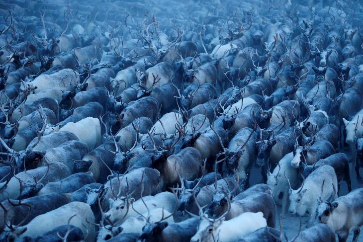 1. Оленеводы в тундре в Ненецком автономном округе, 27 ноября 2016. (Фото Sergei Karpukhin | Re