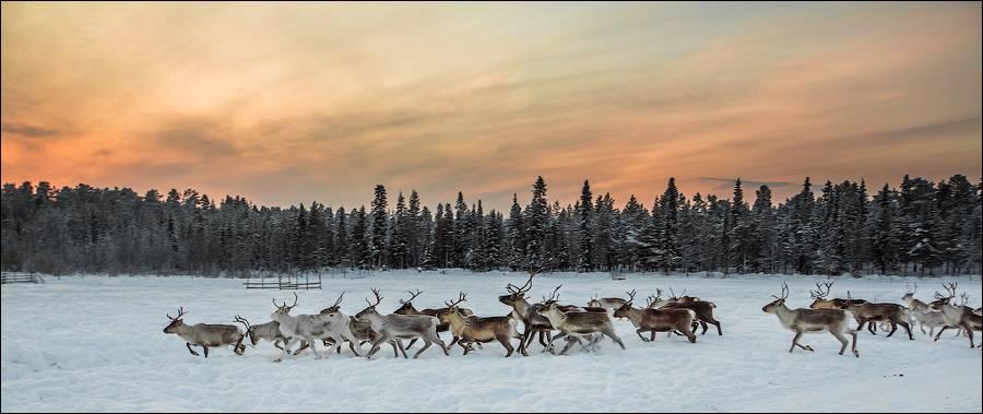 Вот такие они, северные олени в качестве транспортного средства.