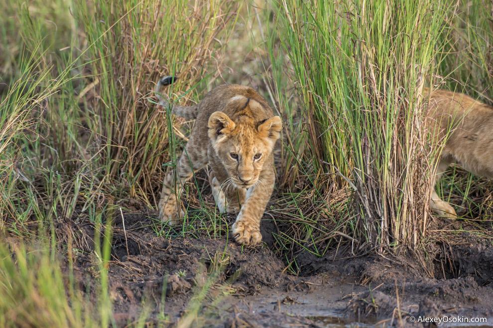 14. Второй тип социальной организации — так называемые странствующие львы, поодиночке или (реже