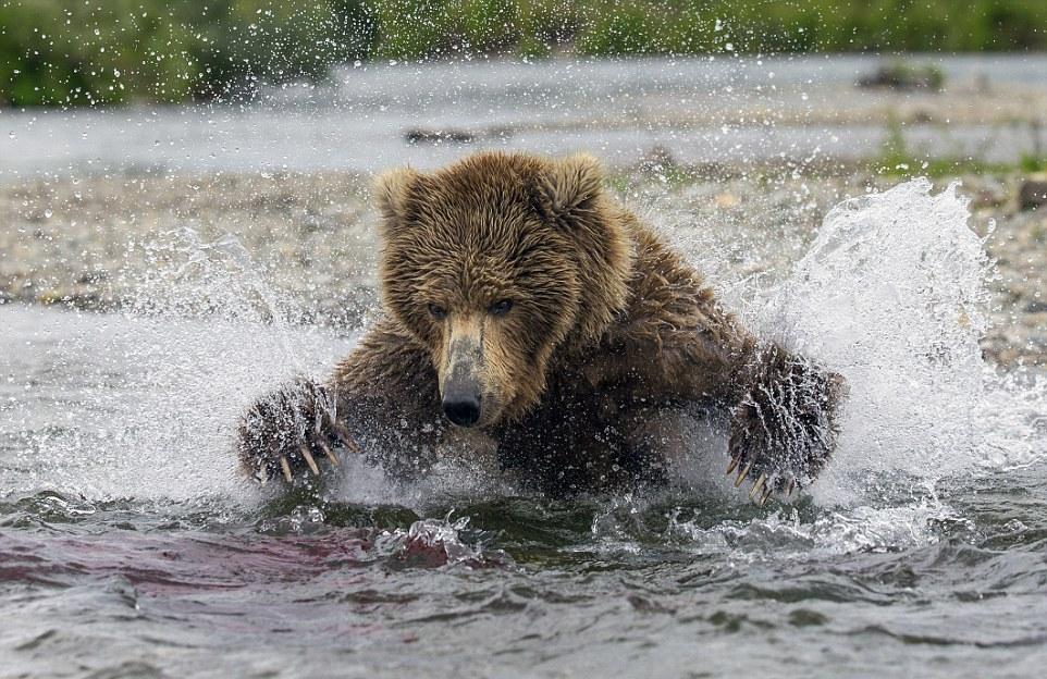 Медведица ловит лосося и кормит своих медвежат