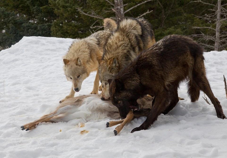 Медведь отобрал тушу оленя у стаи волков