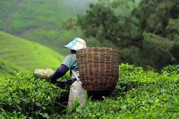 Сборщик листьев чая
