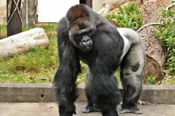 Японки влюбились в красивого самца гориллы   фото и видео мачо