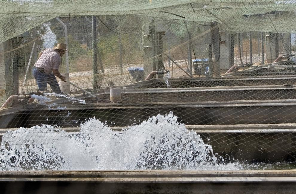 2. Сейчас в нескольких прудах кибуца обитает более 70 тысяч осетров. Возраст большинства из них — ок