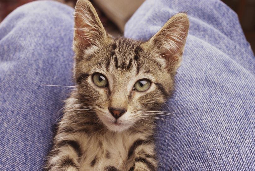 8. Кошку легче держать у себя на коленях.