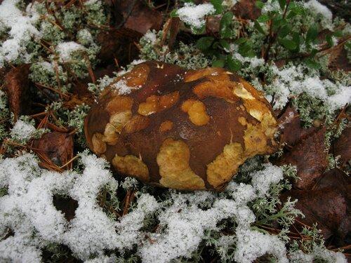 Некоторые моховики в снегу были подозрительно похожи на боровики, но, увы, от последних к ноябрю остались только рожки да ножки. Автор фото: Станислав Кривошеев