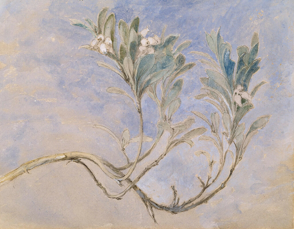 Study_of_a_Sprig_of_a_Myrtle_Tree_by_John_Ruskin1877.jpg
