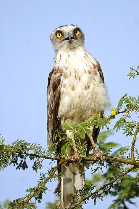 Храбрая ворона пытается отогнать орла от гнезда