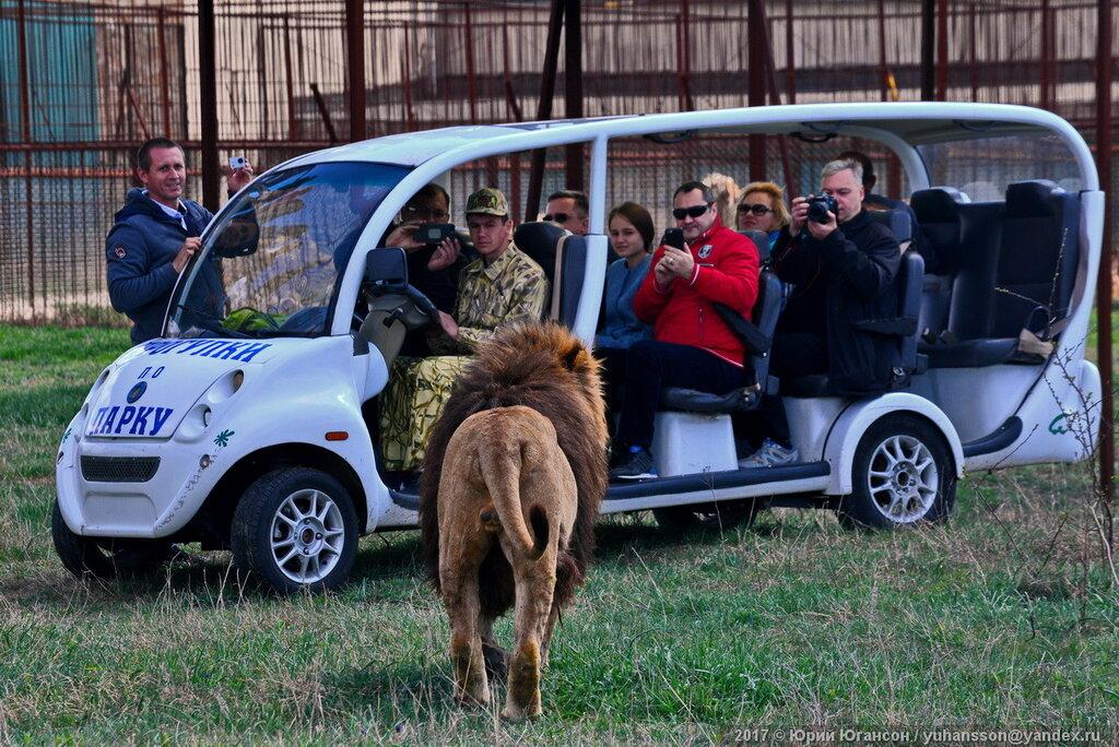 Львы снова в сафари! Юбилейный  выпуск в парке Тайган