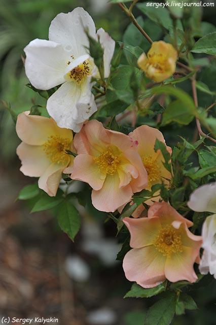 Rosa The Alexandra Rose.JPG