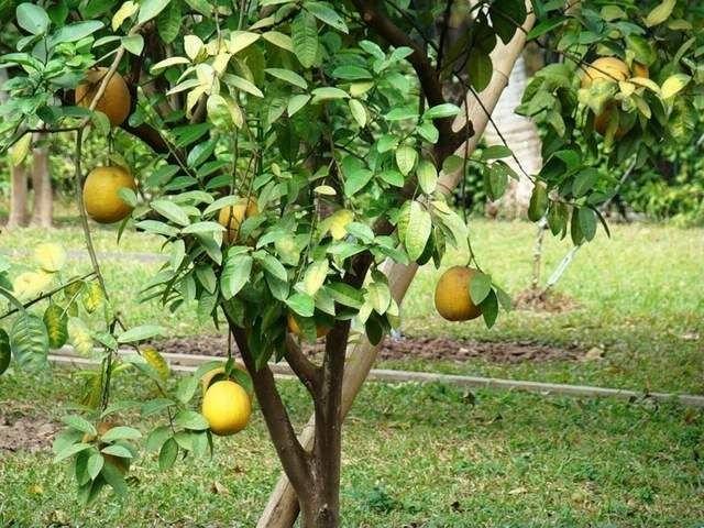 2. Считается, что родиной помело является юго-восточная Азия, а в Америку этот фрукт попал благодаря