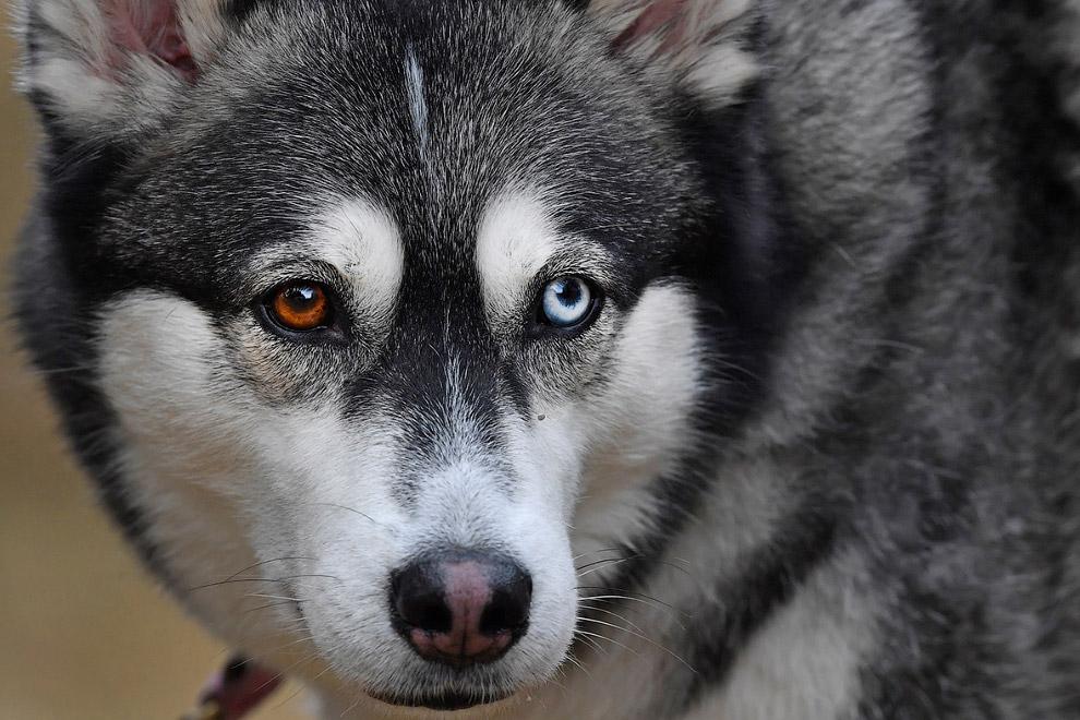 4. Сибирские хаски — не единственная ездовая собака здесь. Самоедская собака — в просторечии —