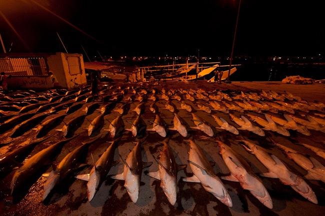 Мясо акул разложено для просушки на жарком солнце в Аль Халуфе, Оман.