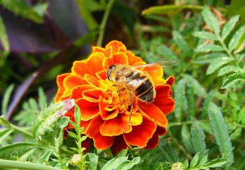 Пчелка на бархатце