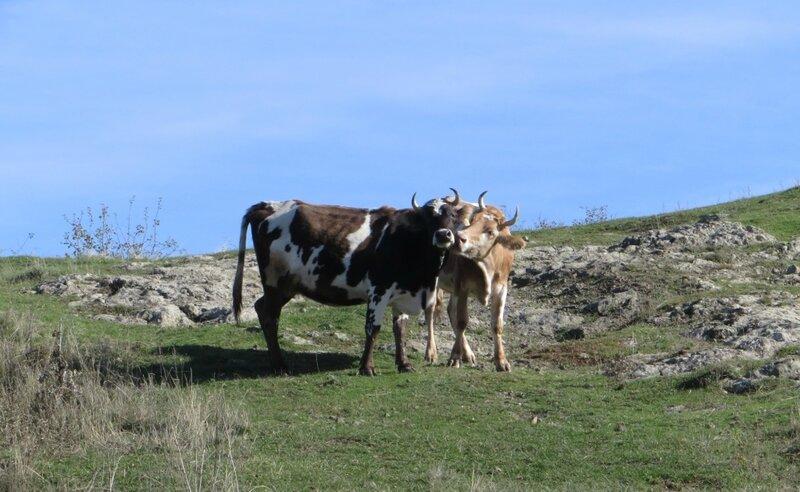 О коровах и любви