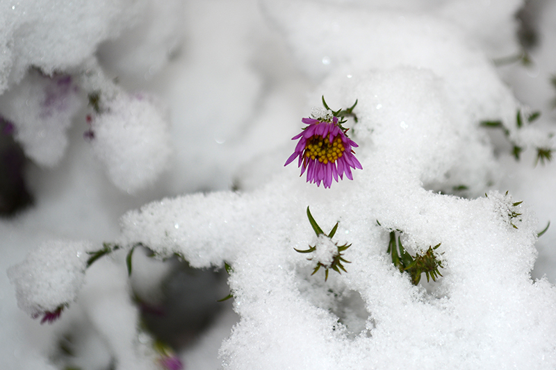 цветы в снегу 16.jpg