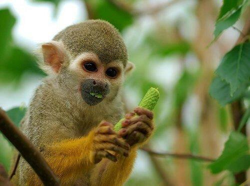 Бразильские обезьяны научились по видео обезьян из Австралии