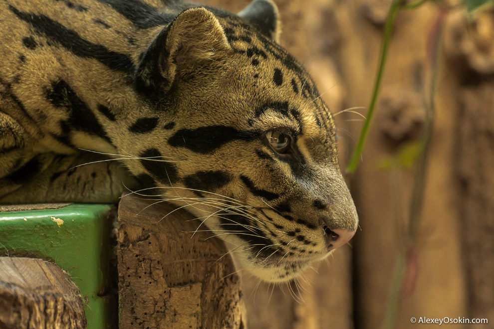 Считается, что дымчатые леопарды лучше других кошек лазить по деревьям. Выждав добычу, они неож
